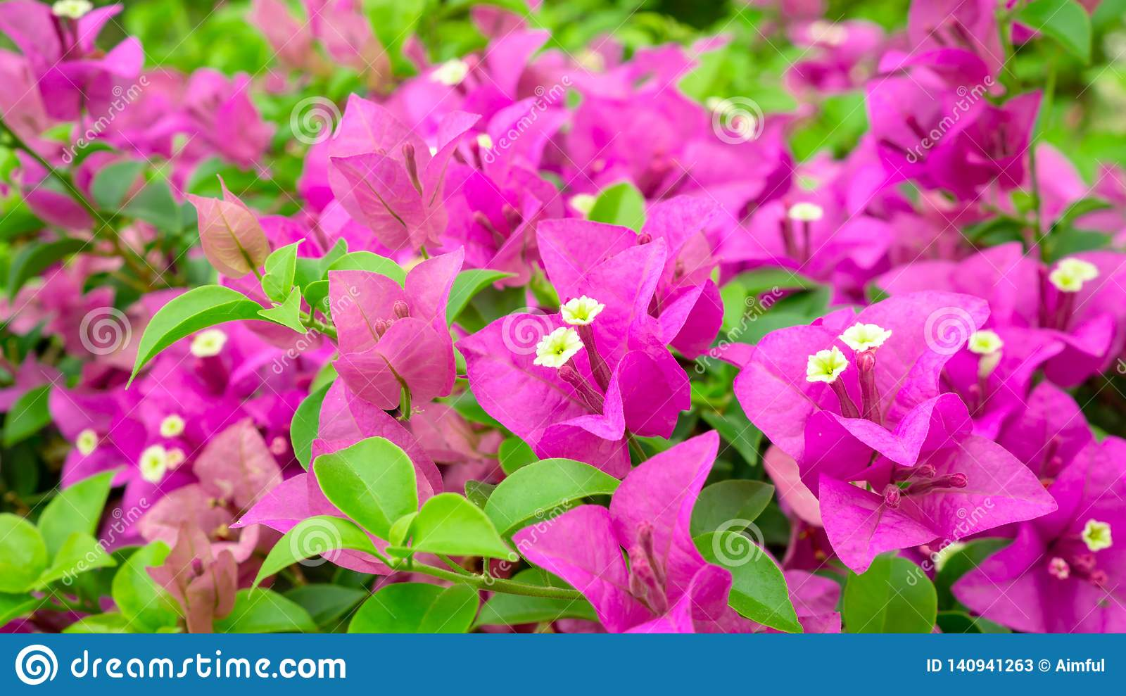 Bunches of beautiful pink Bougianvillea petals and petite white pistils on green leaves background