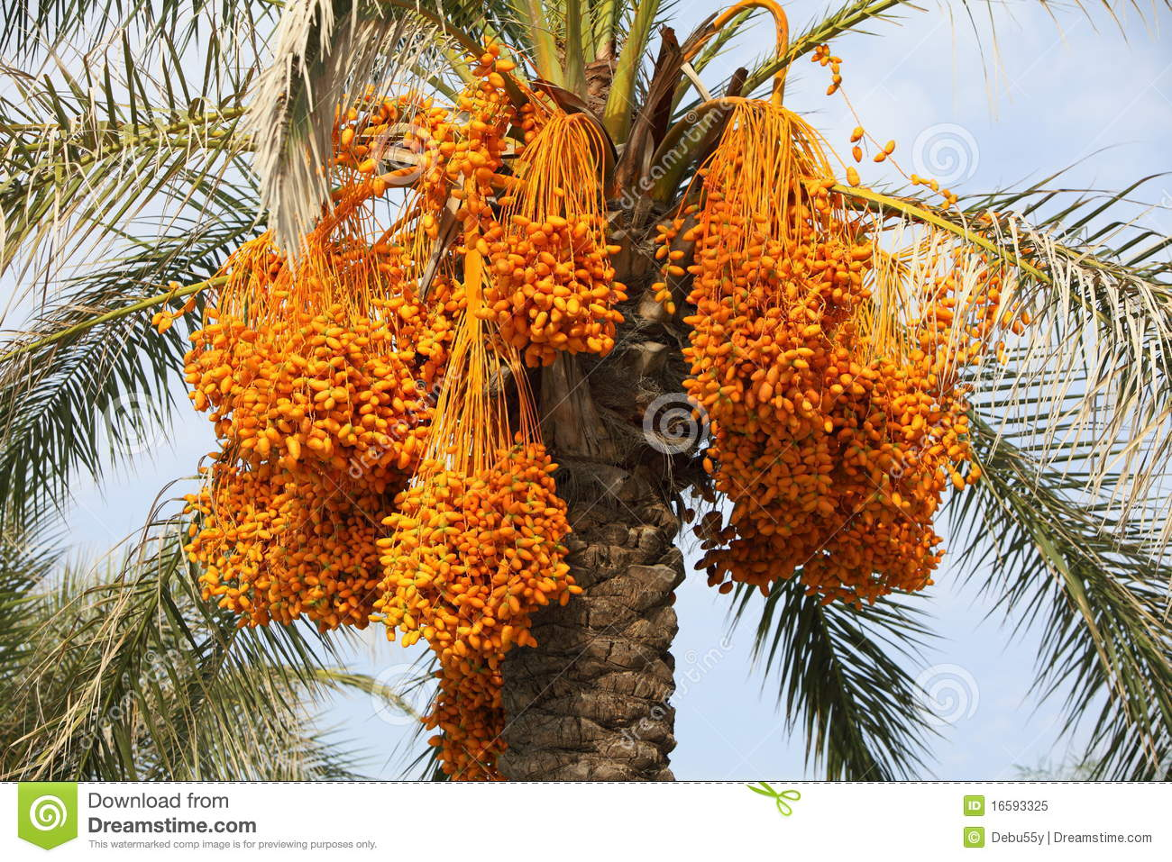 Bunches Of Dates On A Palm Tree Stock Image Image 16593325