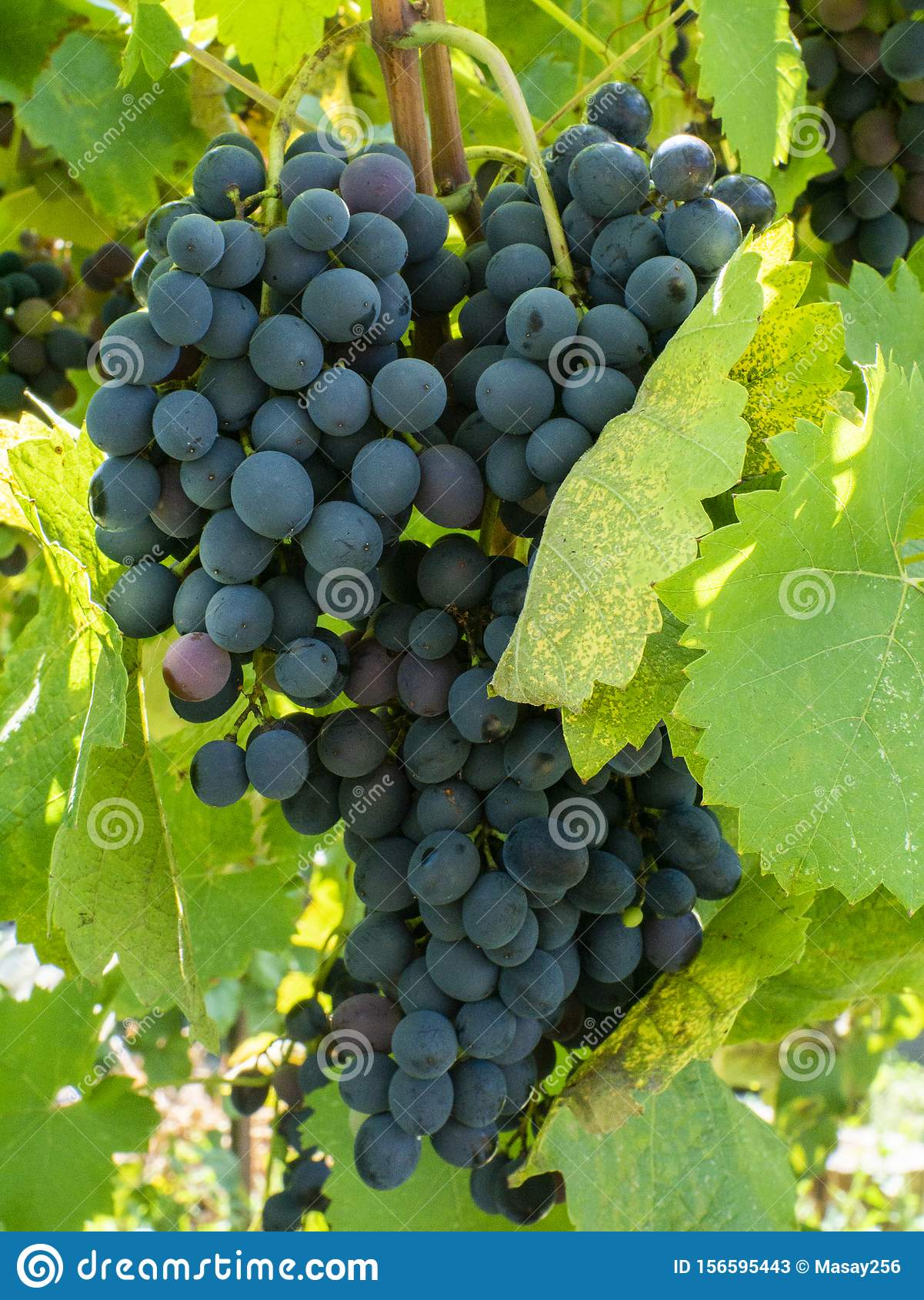 Bunches of grapes in a vineyard in a rural garden
