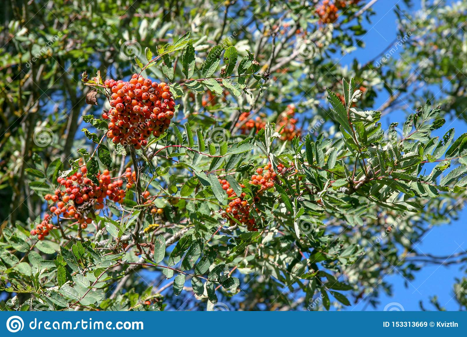Bunches of red and orange ripe rowan on a tree.