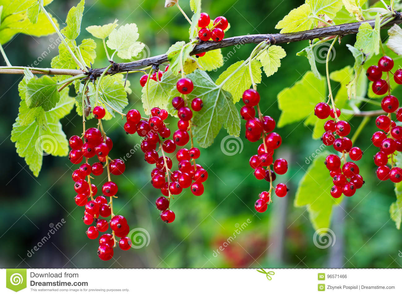 Why does the currant dream