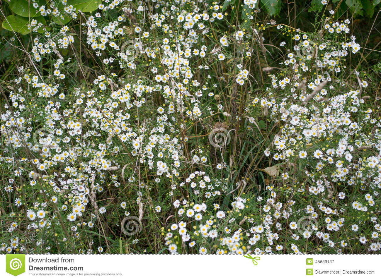 Bunches Of Small Flowered White Aster Flowers Stock Image Image Of