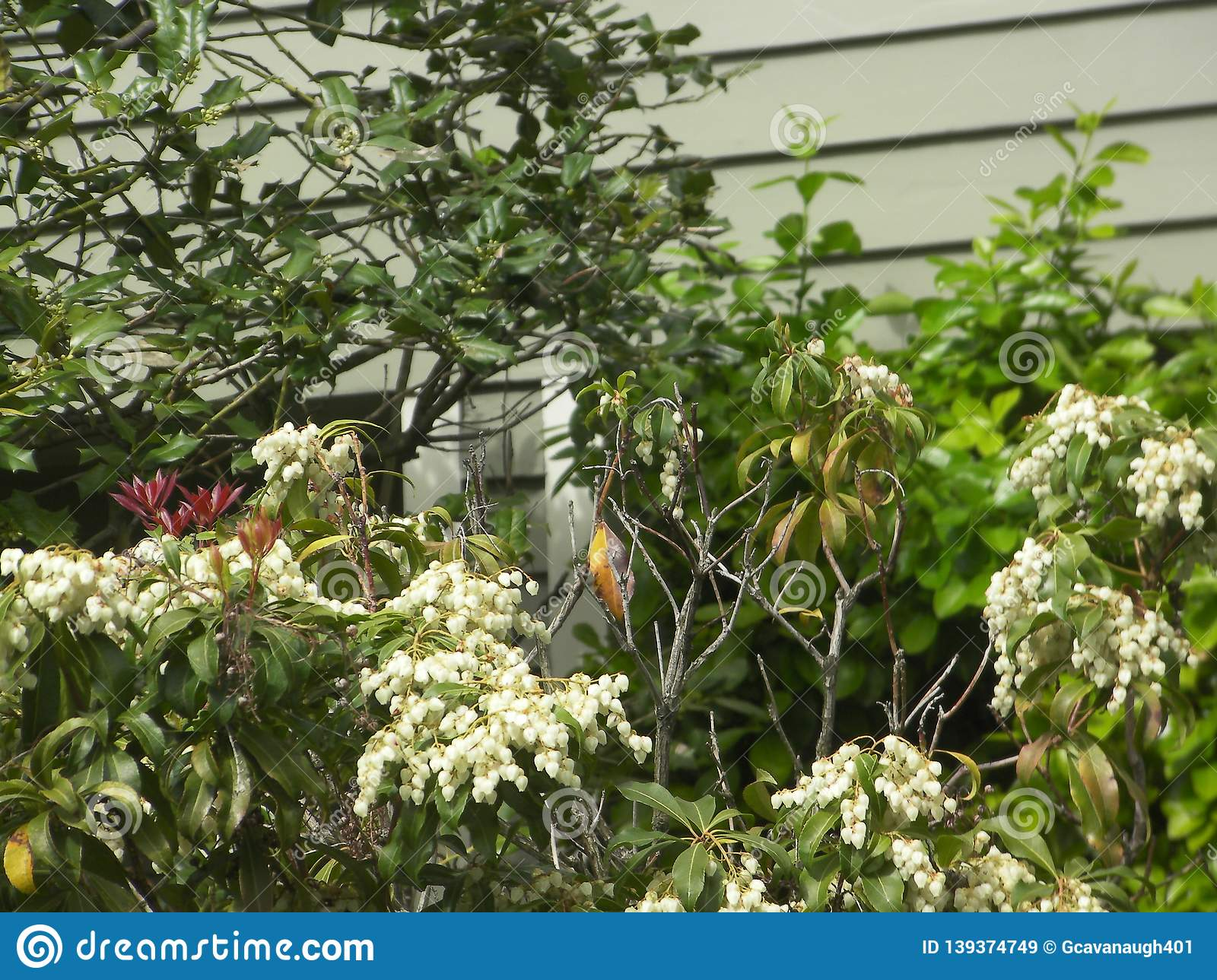 Bush With White Flowers Against A House Stock Image Image Of