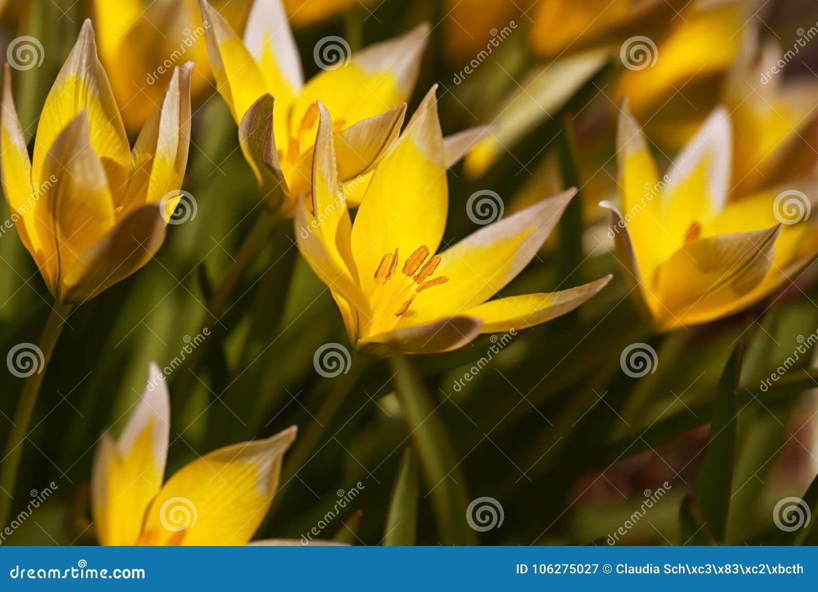 A bundle of yellow wild tulips. Tulipa tarda