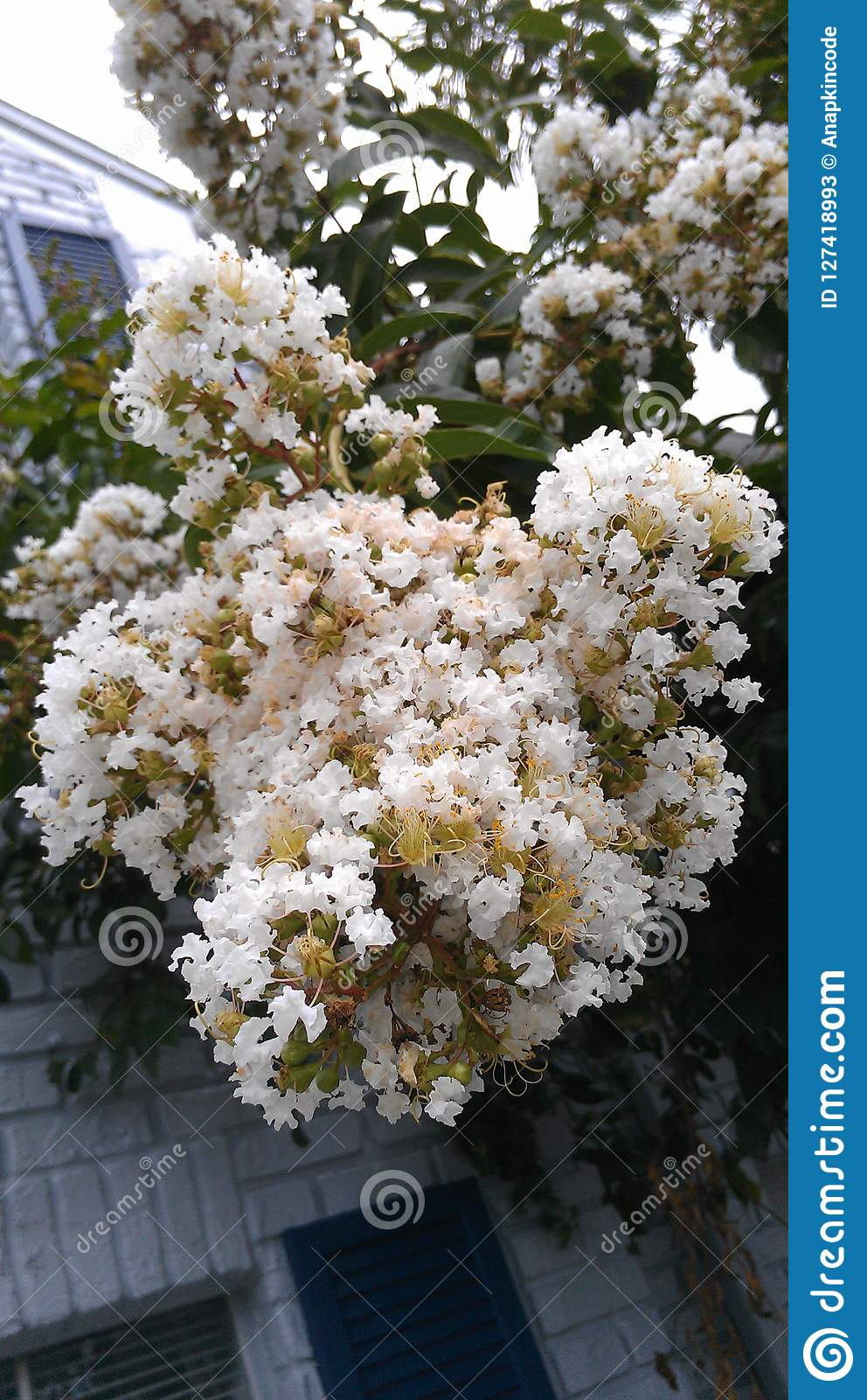 Bundles Of Small White Flowers Growing On A Tree Stock Image