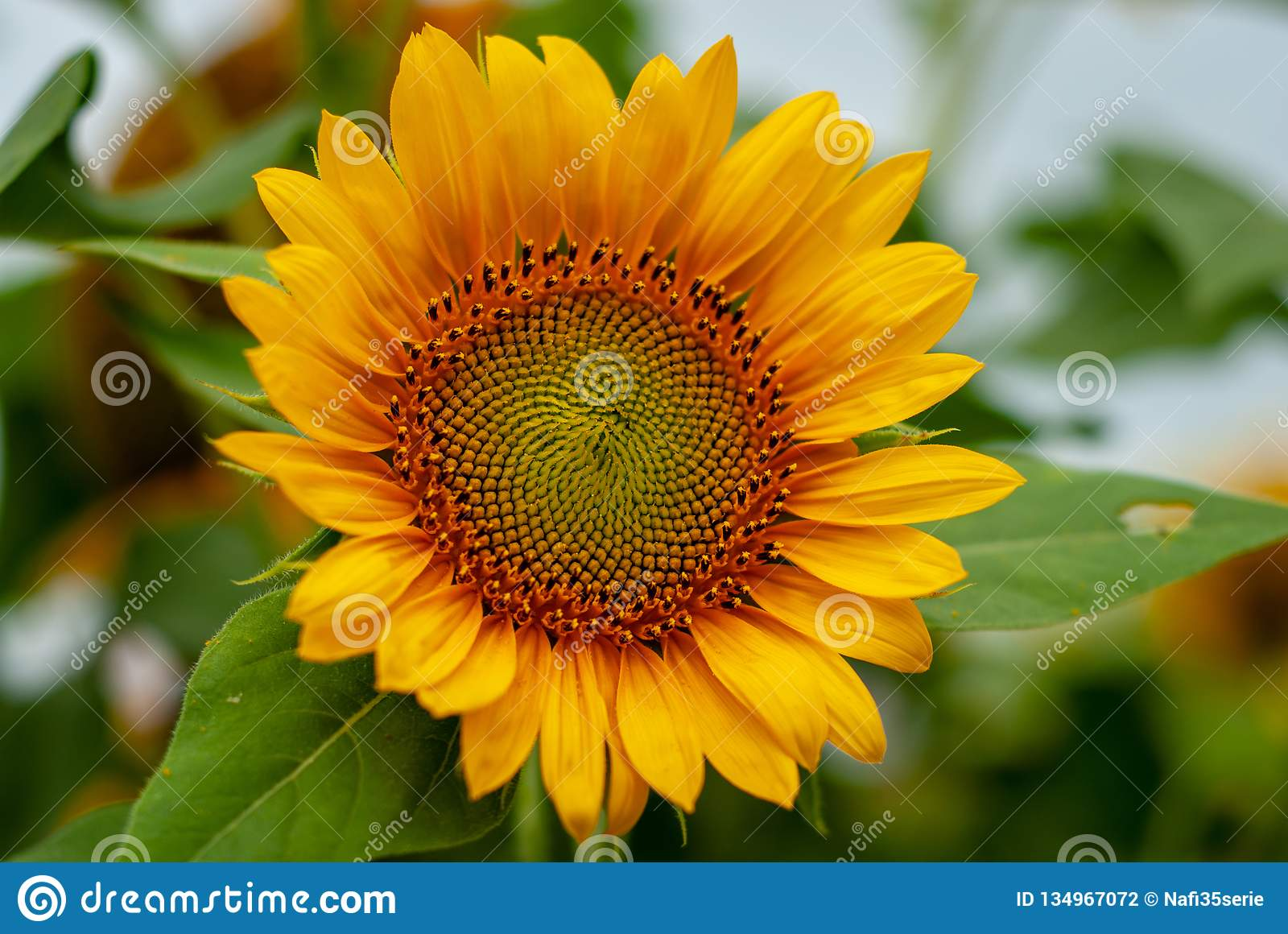 Bunga Matahari Beautiful Bright Yellow Sunflowers Farm Fields In