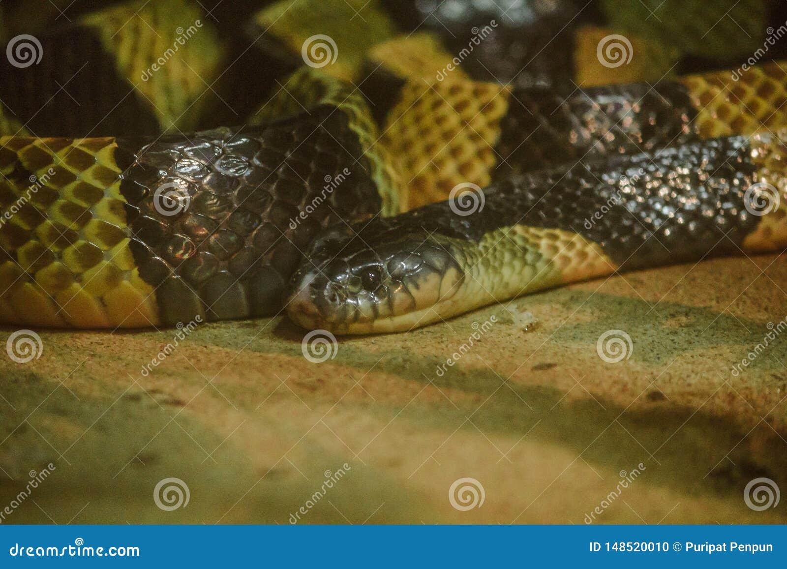 Bungarusfasciatusen ?r en sort av den giftiga ormen