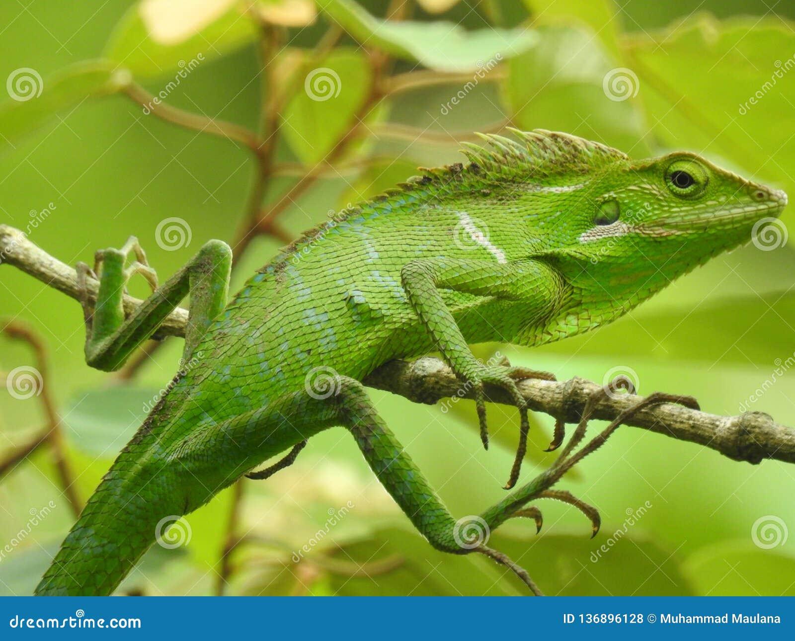Bunglon Green Lizard from Merapi Mountain