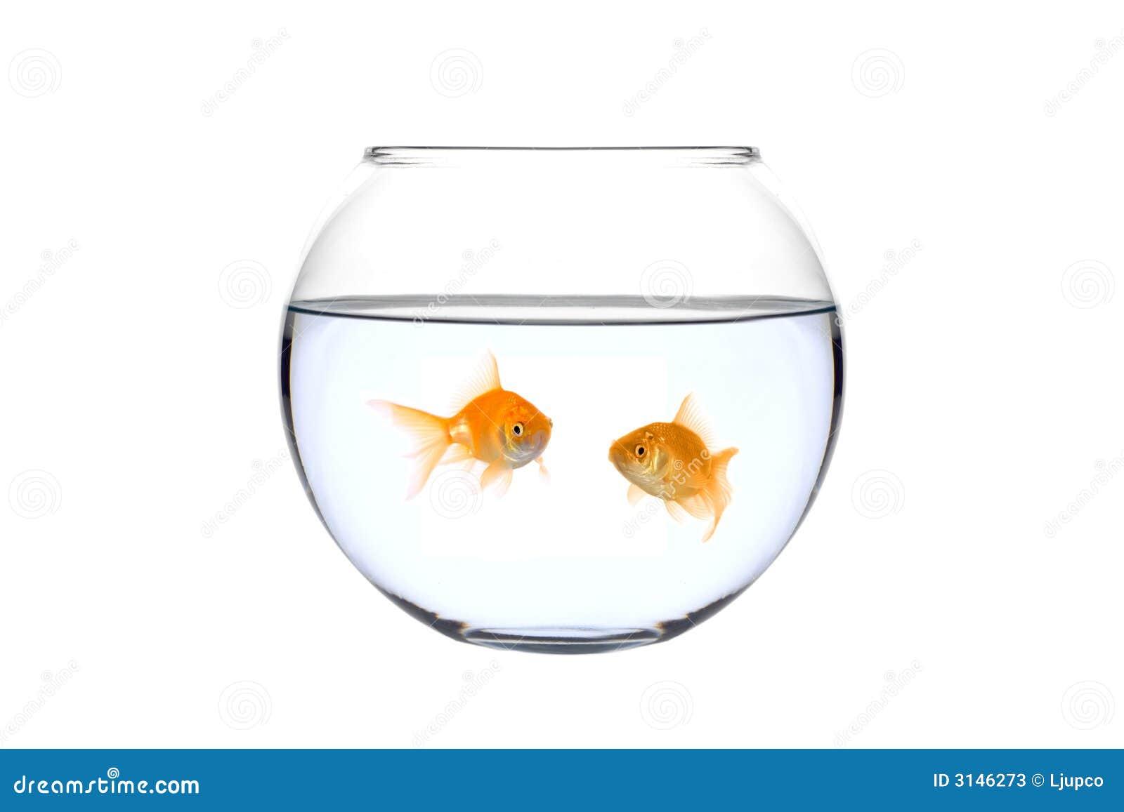 Bunkefisk guld- två