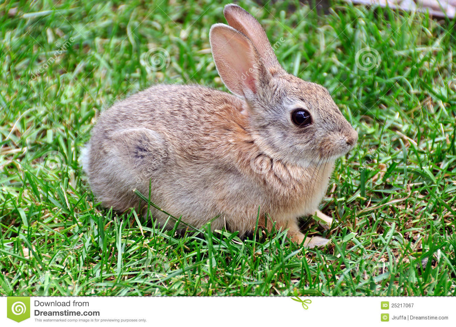 Bunny Rabbit Royalty Free Stock Photography - Image: 25217067