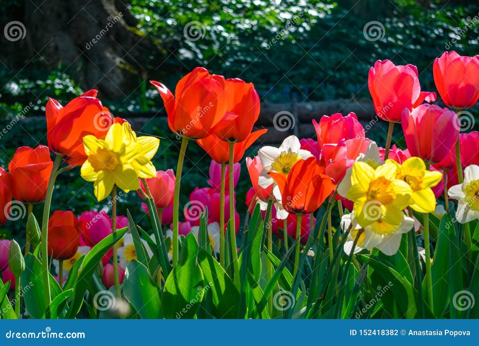 Bunte Blumen, Tulpen und Narzissen