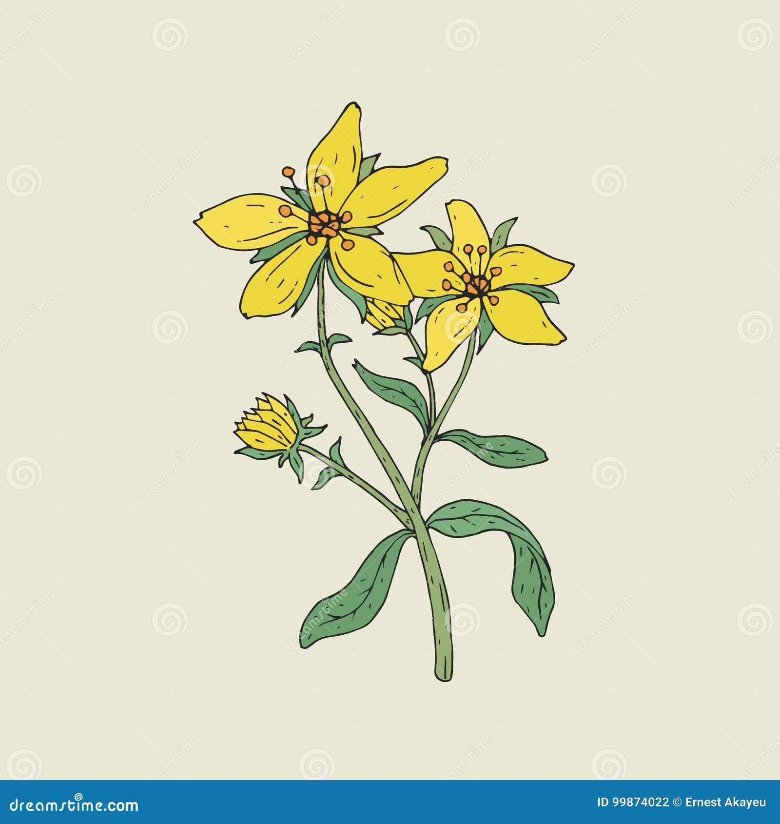 Bunte botanische Zeichnung von Würze Johannes s in der Blüte Zartes gelbes Blumenwachsen auf grünem Stamm mit der Blatthand