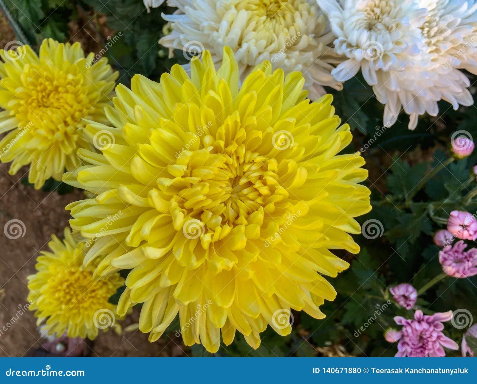Bunte Chrysantheme robustes chrysanth gelb, Rosa, weiß auf dem grünen Blatthintergrund