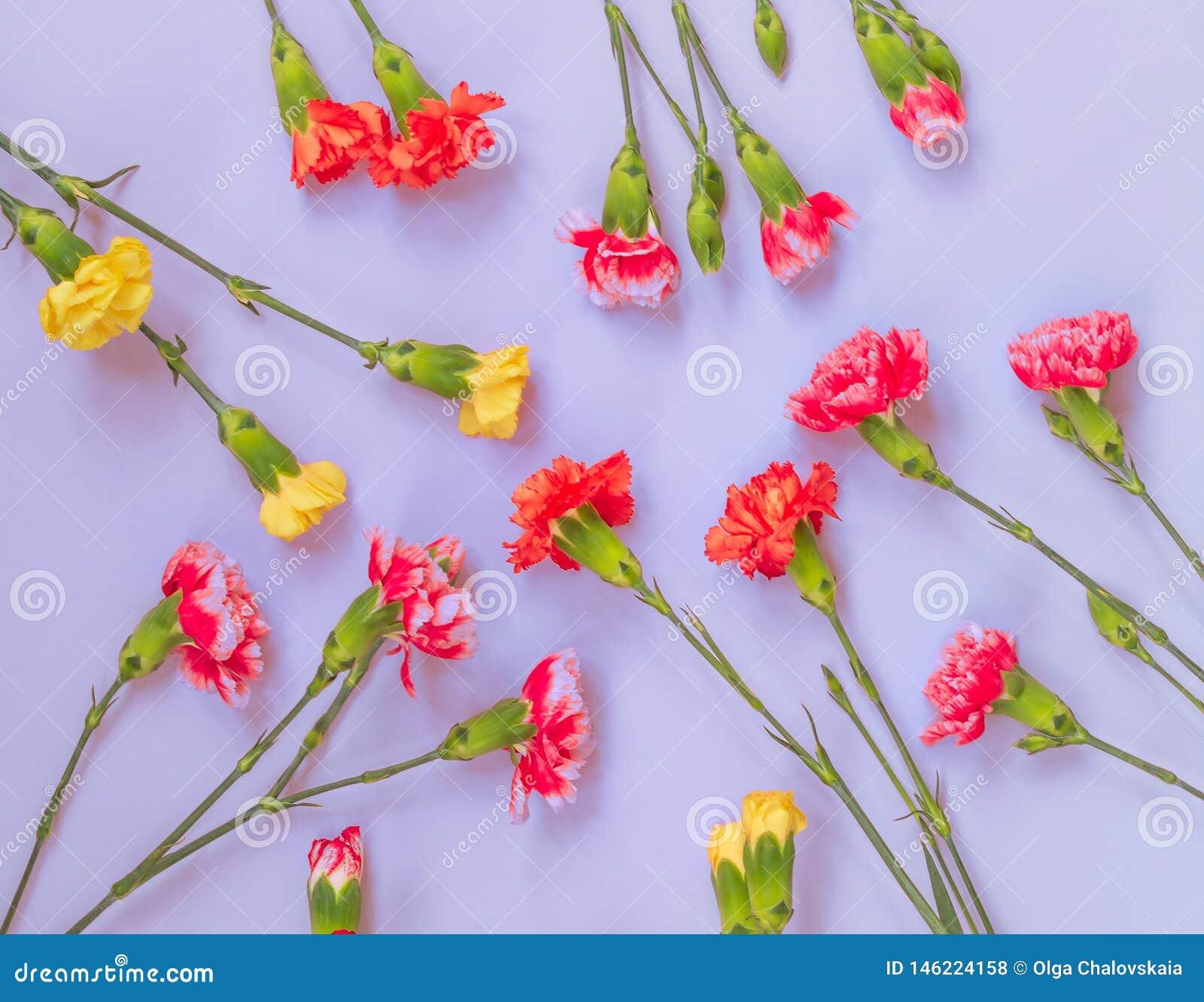 Bunte Gartennelkenblumen auf hellblauem Hintergrund Flache Lage, Draufsicht