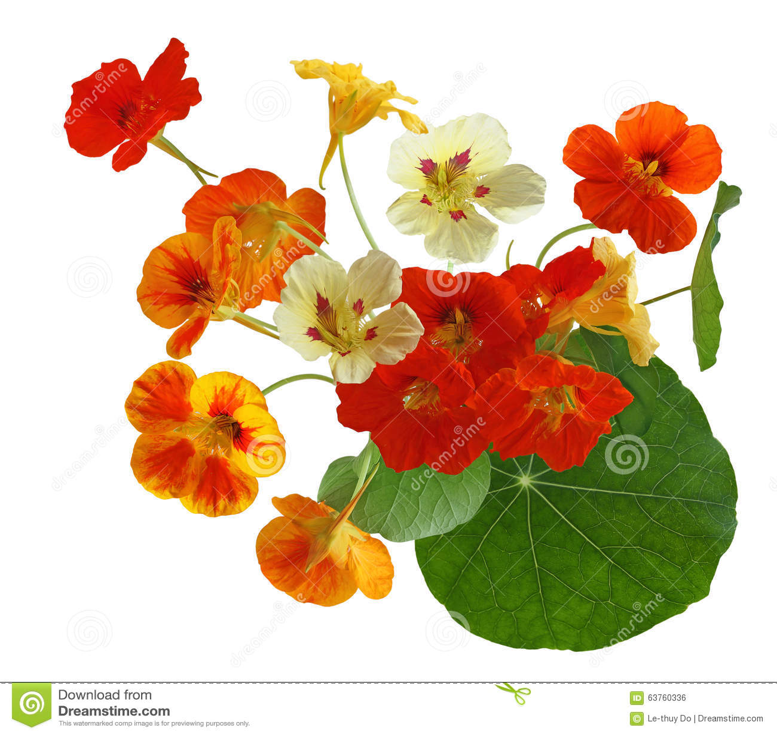Bunte Kapuzinerkäse-Blume