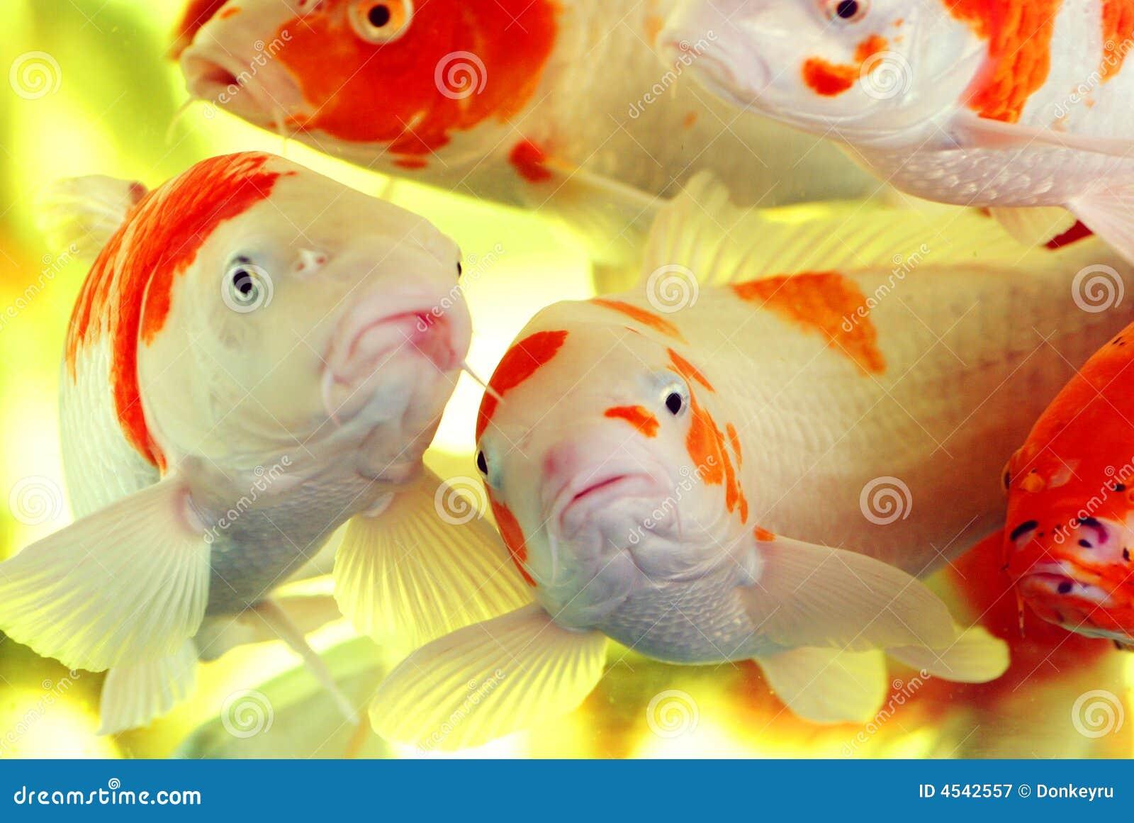 Bunte koi karpfen lizenzfreie stockfotografie bild 4542557 for Bunte goldfische