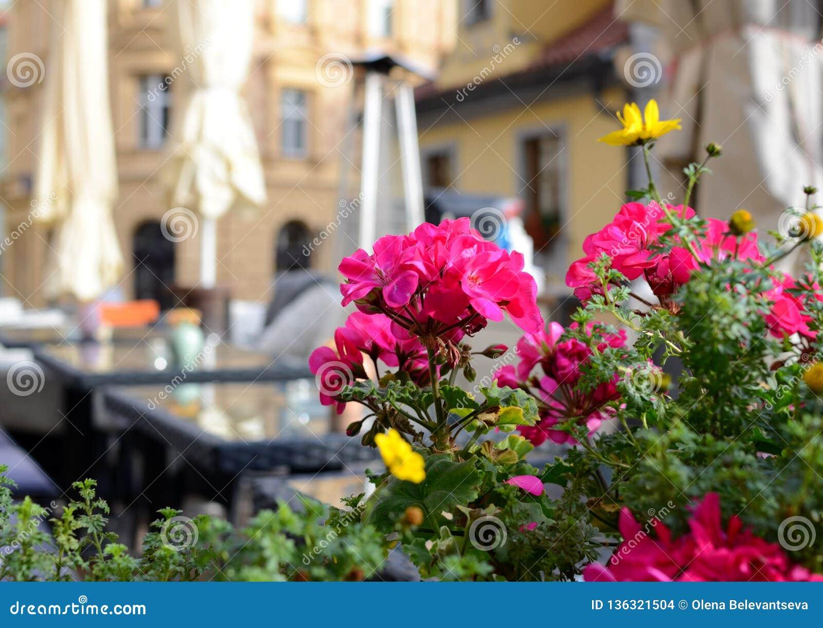 Bunte Pelargonie auf der Sommerterrasse eines Restaurants, Prag, Tschechische Republik