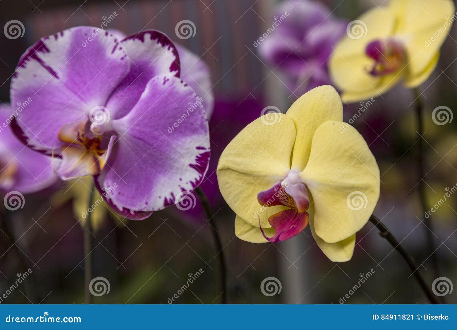 Bunte purpurrote Orchideeblumen