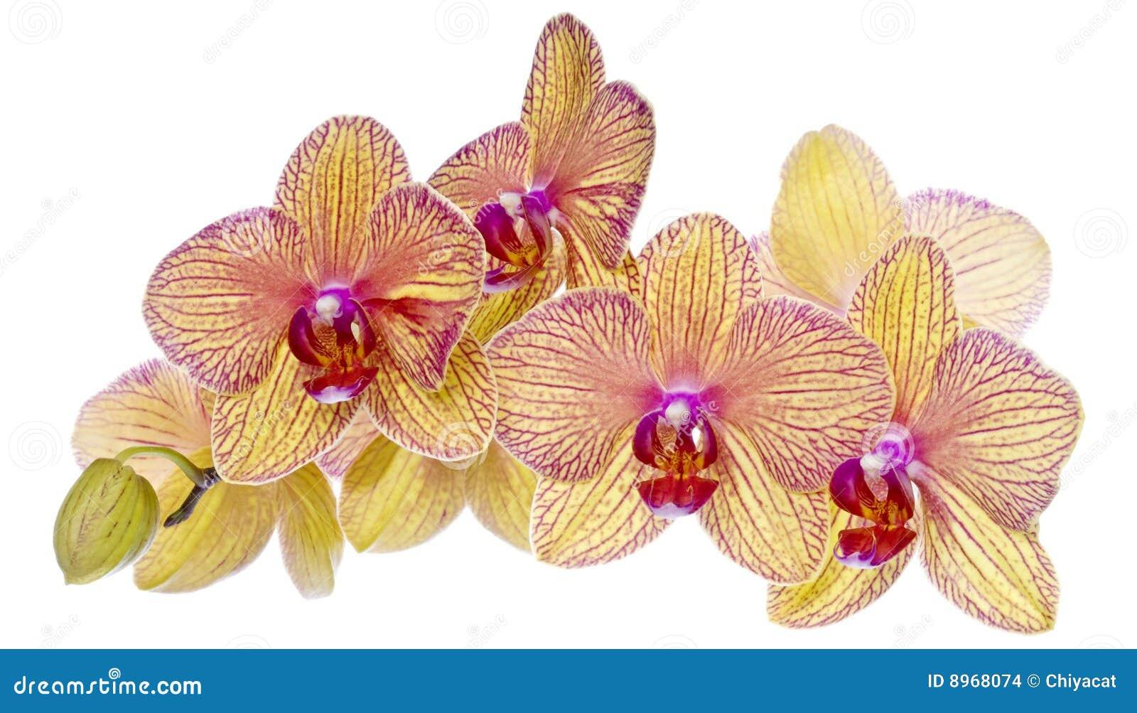 bunte rosafarbene und gelbe orchideen stockbilder bild. Black Bedroom Furniture Sets. Home Design Ideas