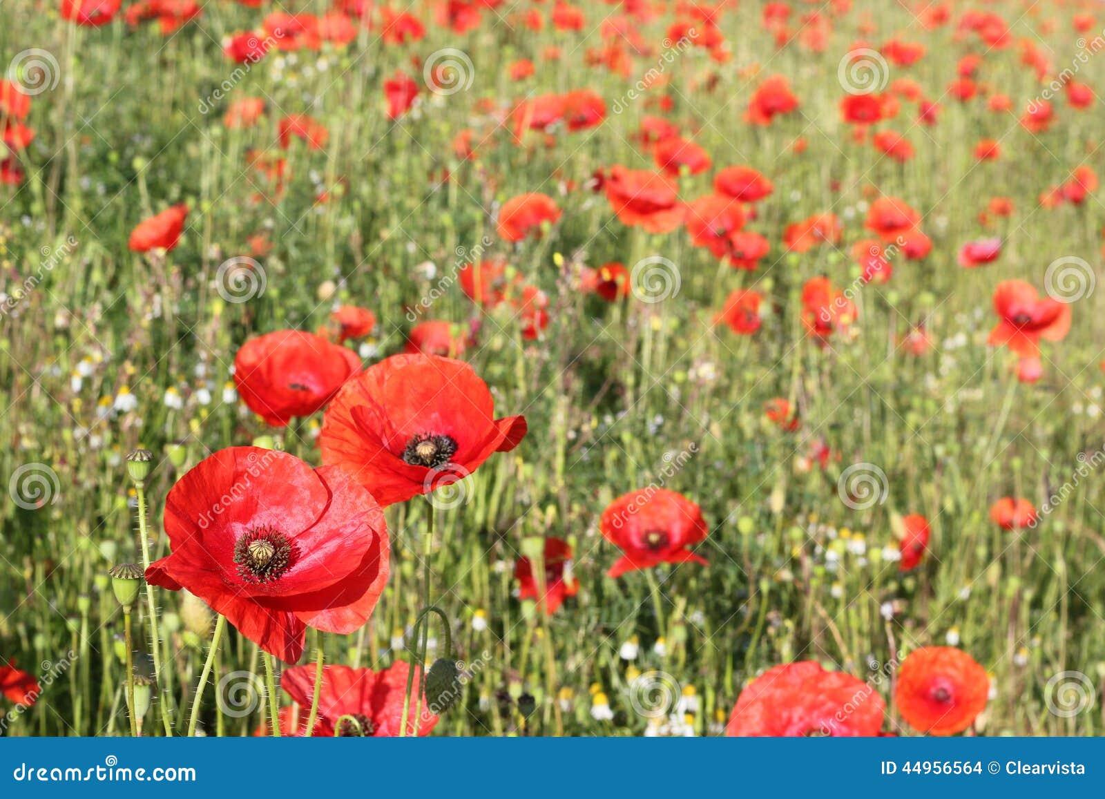 Bunte rote wilde Mohnblumen auf einem Gebiet