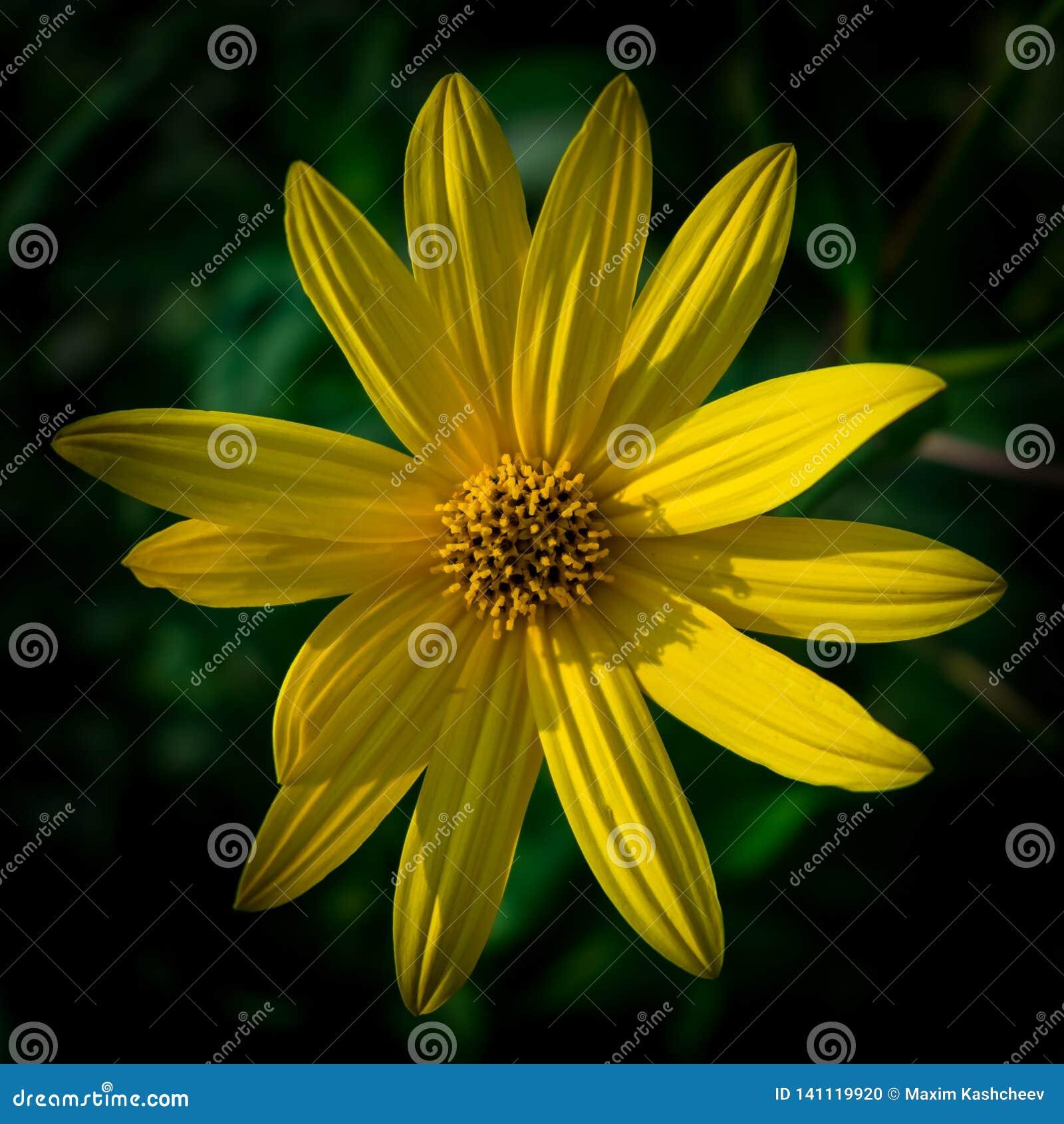 Bunte saftige gelbe Blume mit orange Mitte und den klaren angenehmen reinen Blumenblättern Blühendes Topinambur im Makro blühen
