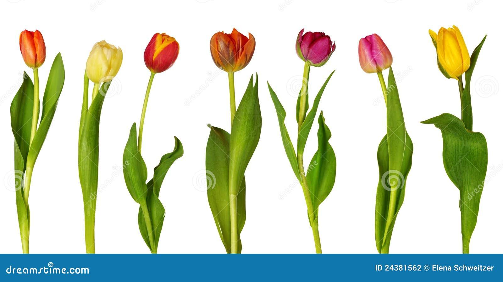 bunte tulpen stockfoto bild von orange blume sch n 24381562. Black Bedroom Furniture Sets. Home Design Ideas