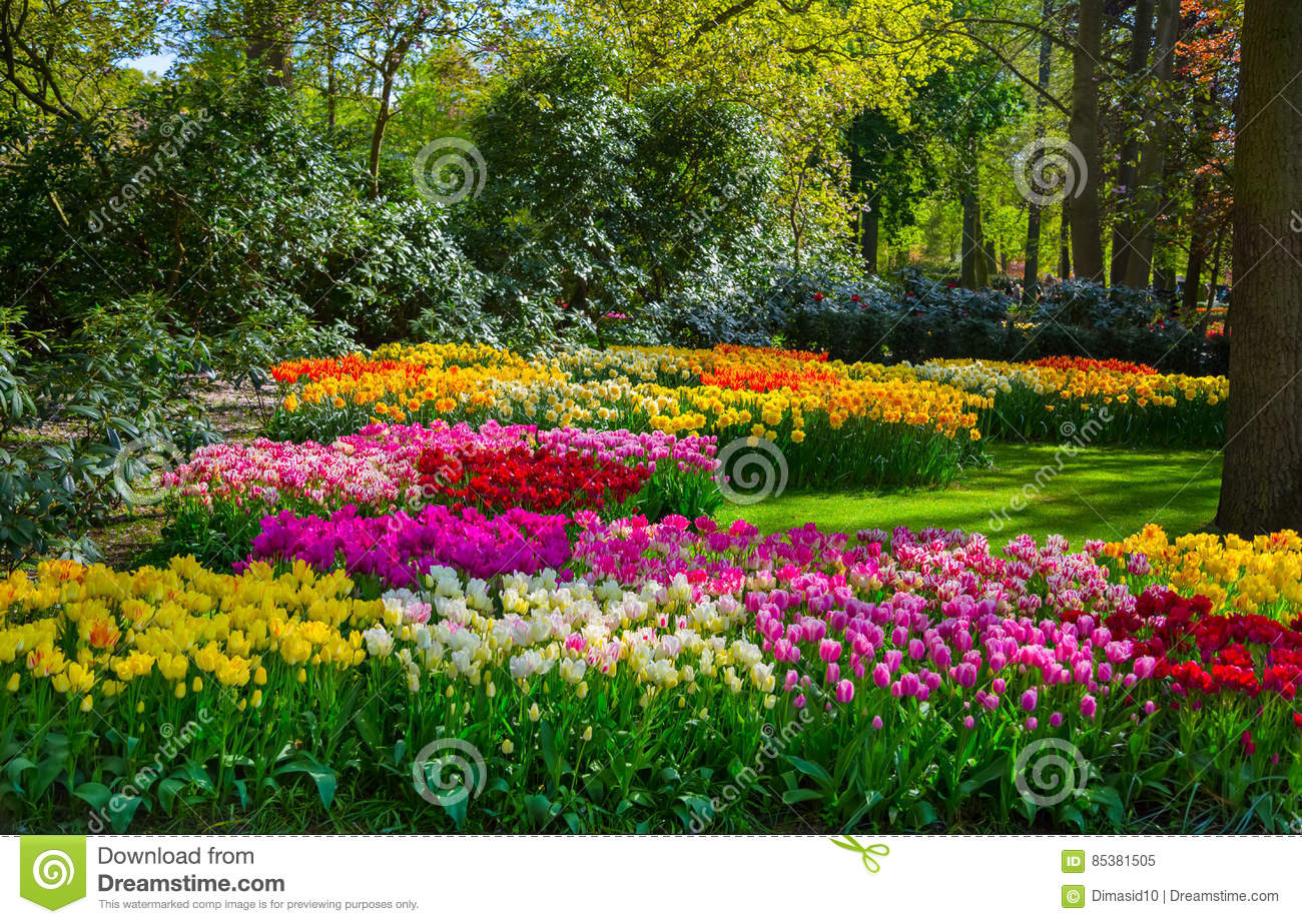 bunte tulpen im keukenhof arbeiten holland im garten stockbild bild von blume bl te 85381505. Black Bedroom Furniture Sets. Home Design Ideas