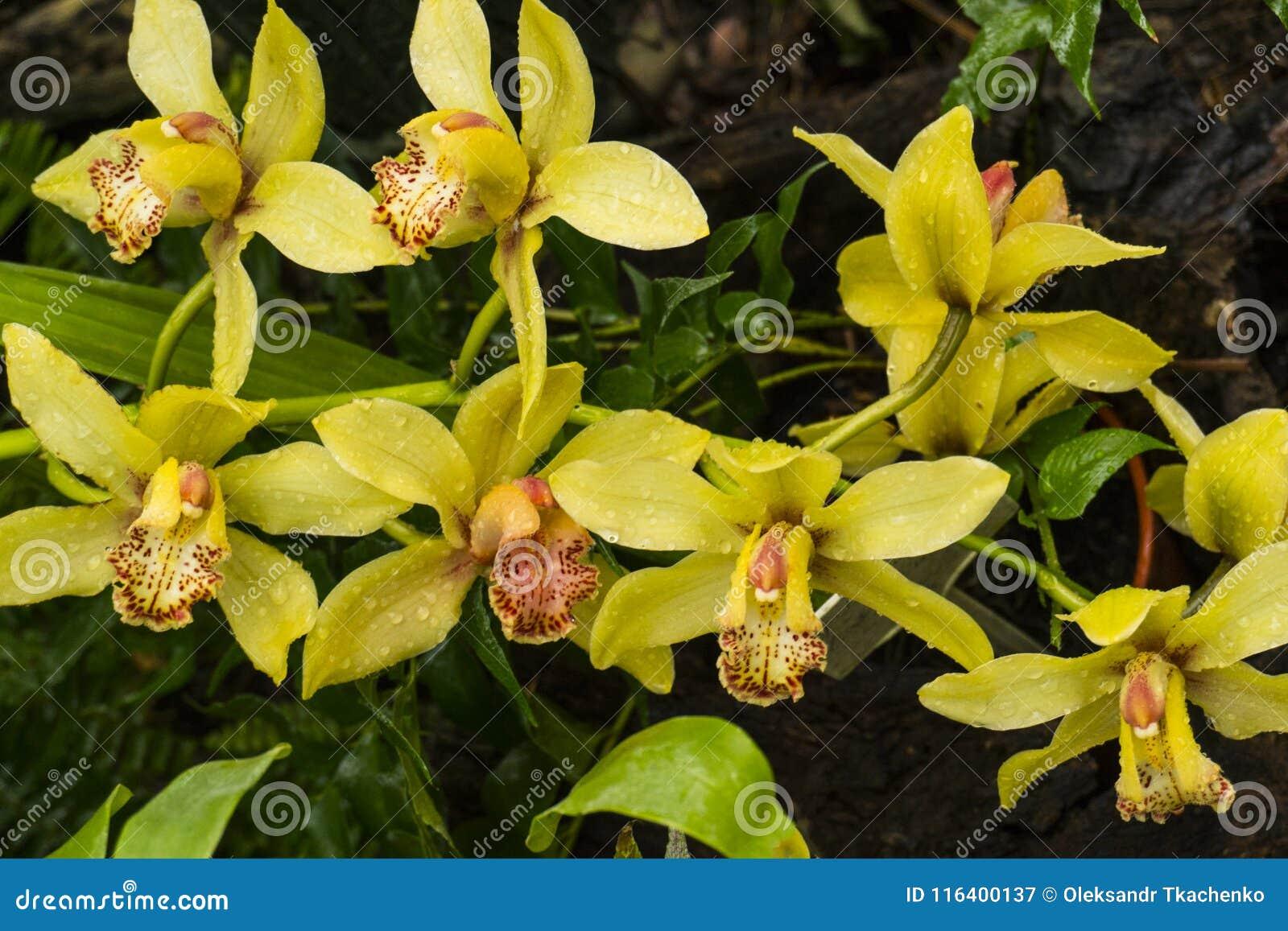 Bunte wilde gelbe Orchideen auf der Niederlassung im tropischen Regenwald