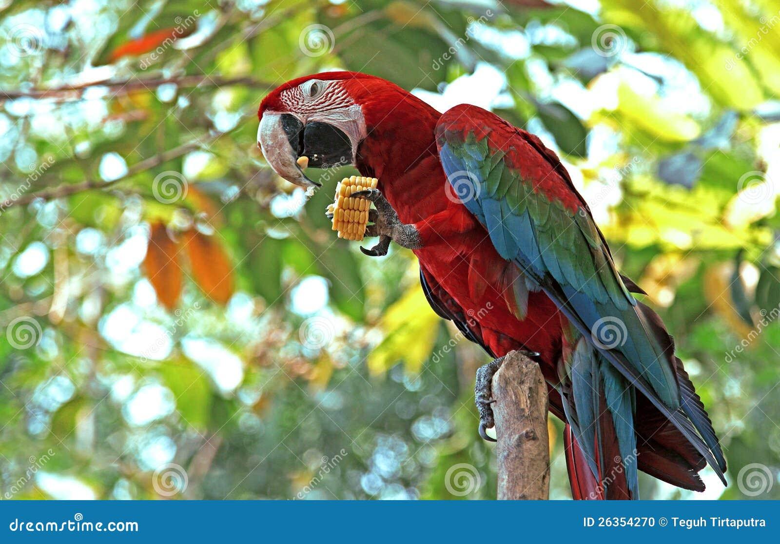 Bunter Macawvogel
