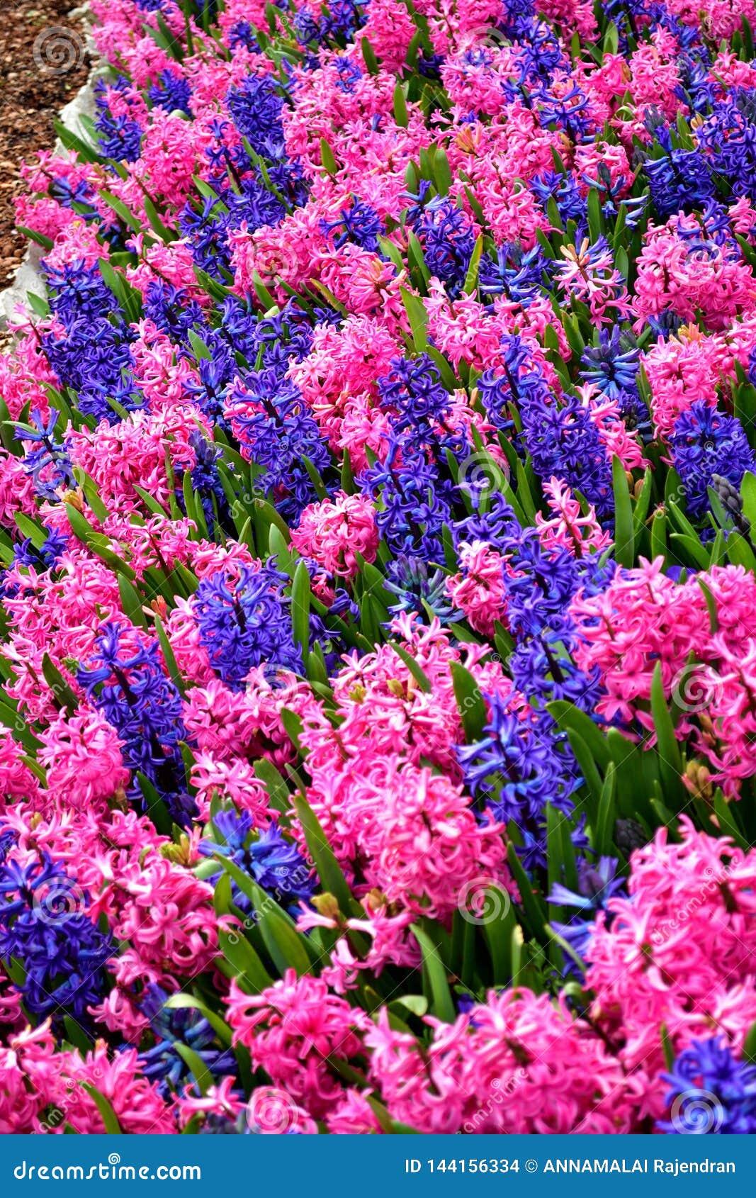 Buntes Blumenfeld mit blauer und rosa Blumenmischung
