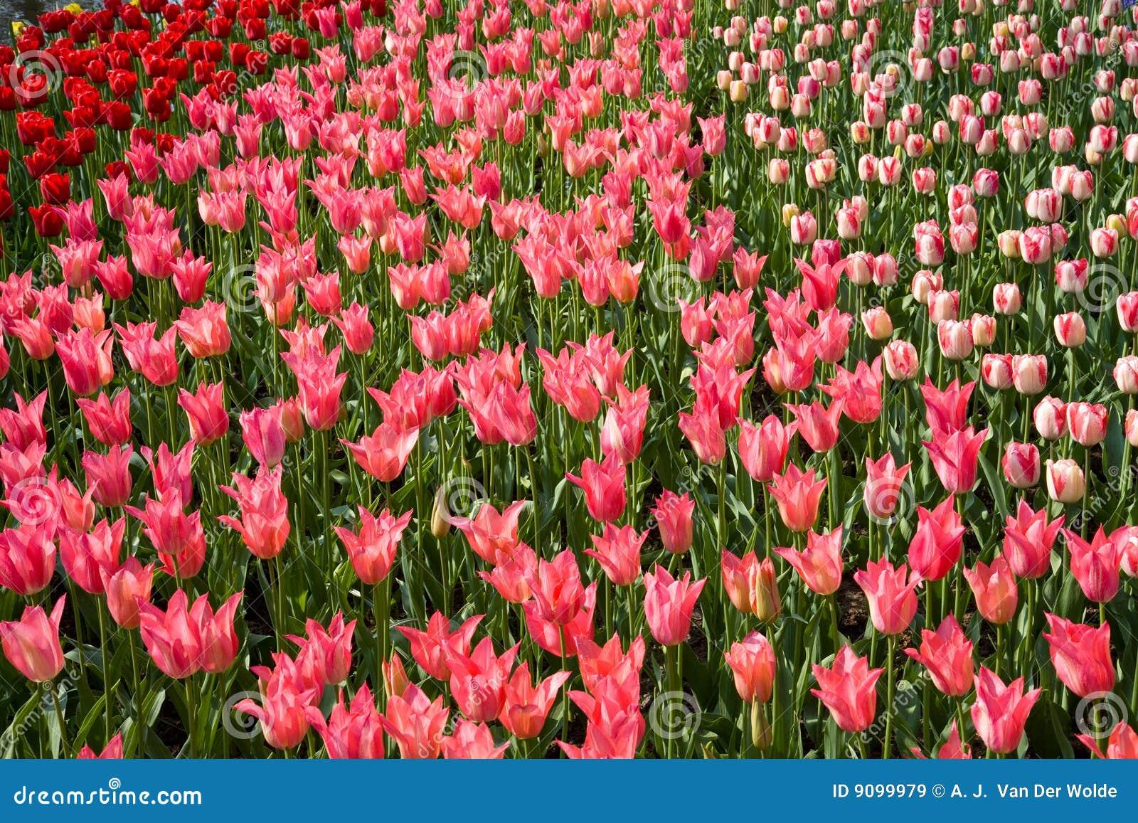 Buntes Feld der Tulpen