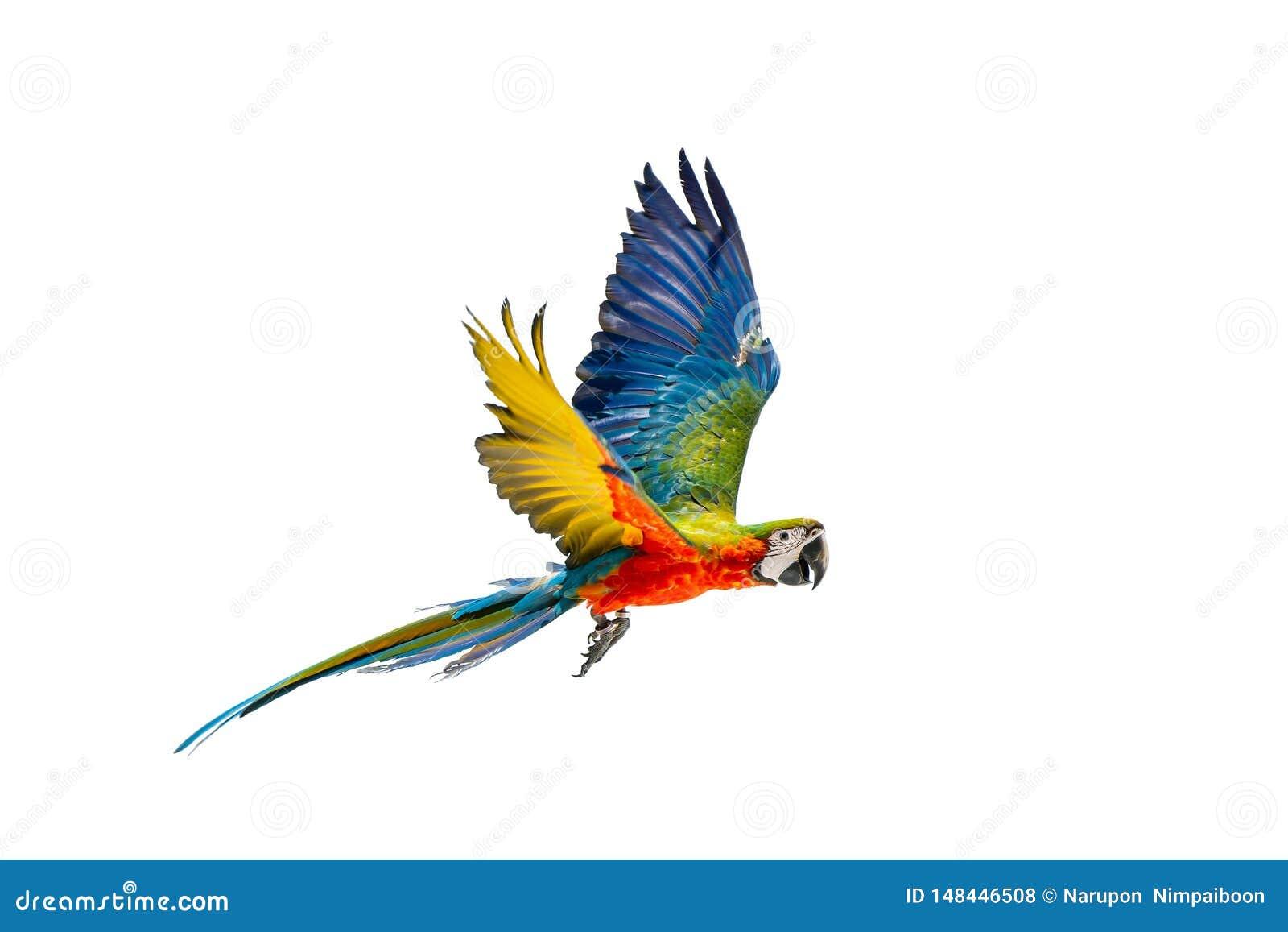 Buntes Papageienfliegen mit wei?em Hintergrund