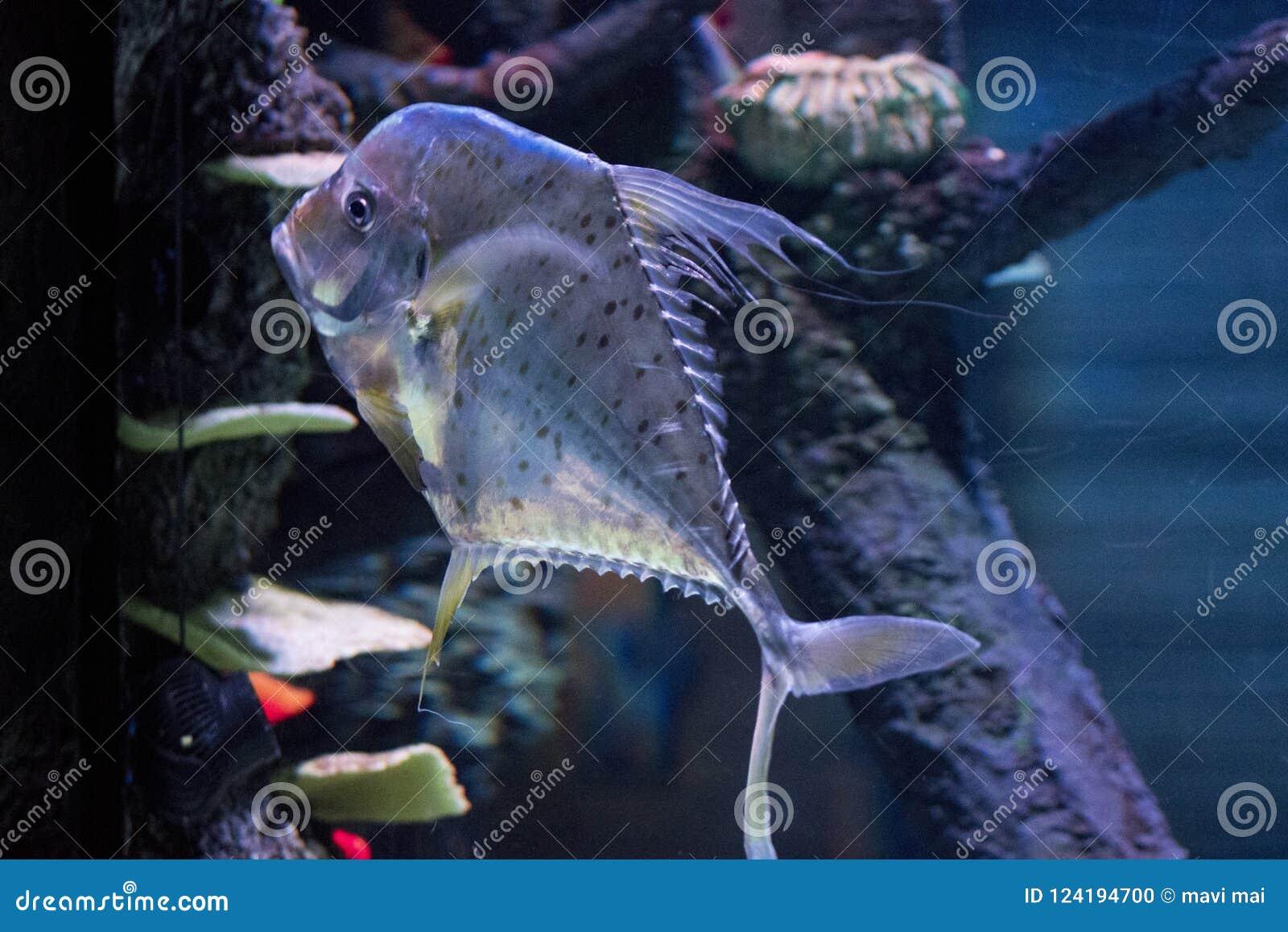 Buntes tropisches Fische swimmingwith blauer Seehintergrund