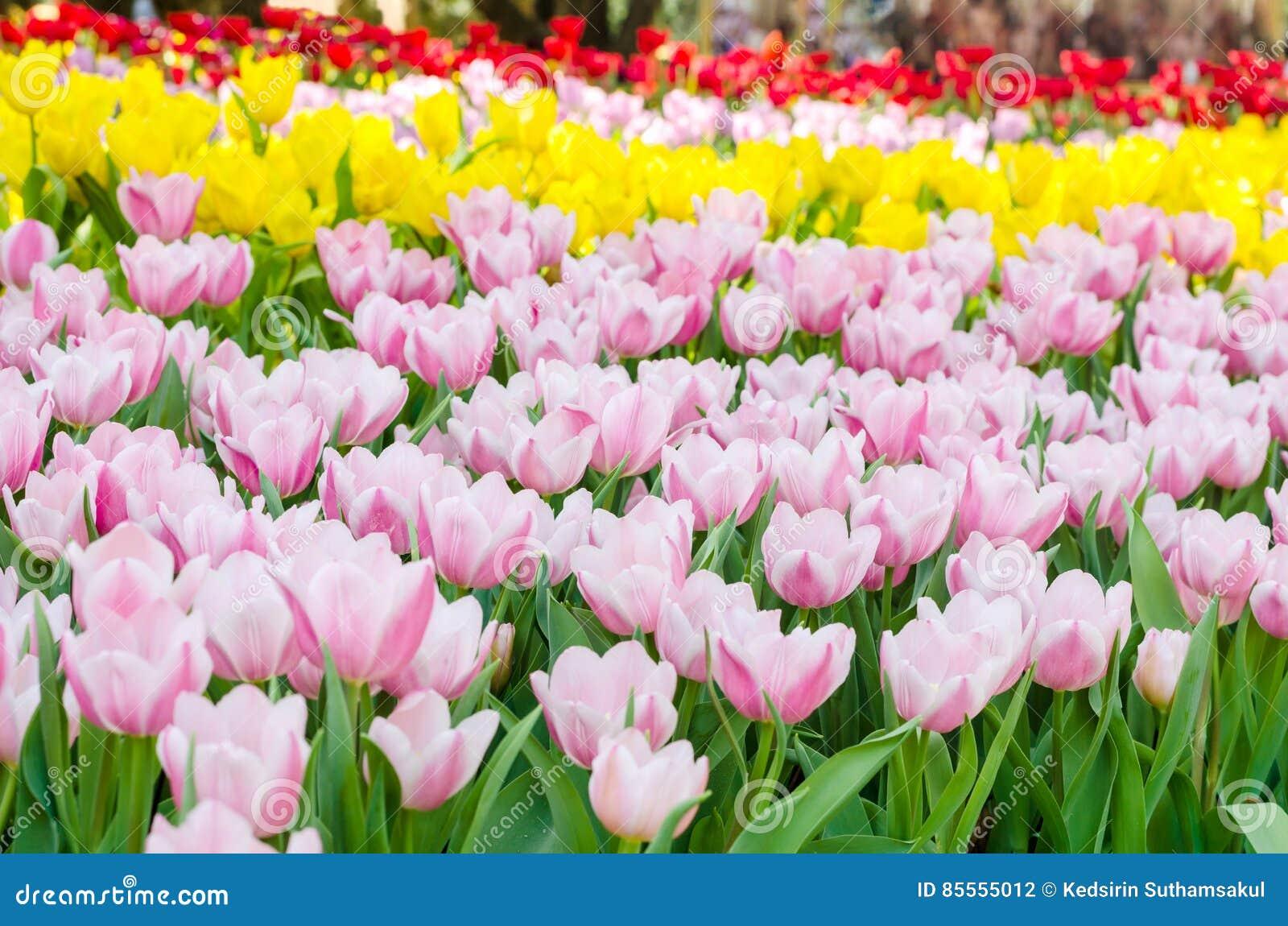 Buntes Tulpenblumenfeld