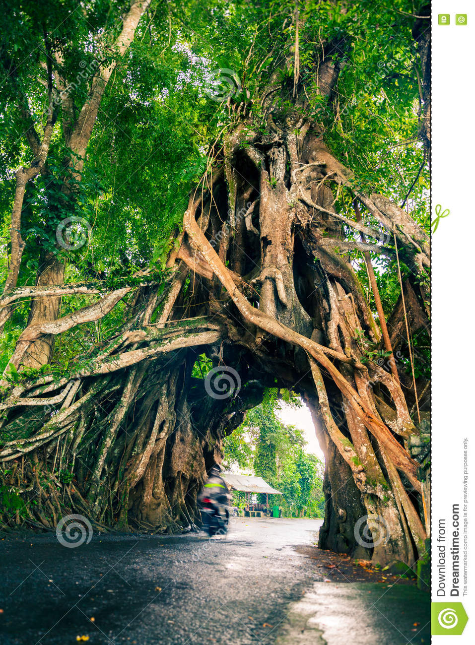 Bunut Bolong, Great huge tropical nature live green Ficus tree with tunnel arch of interwoven tree roots at the base for walking