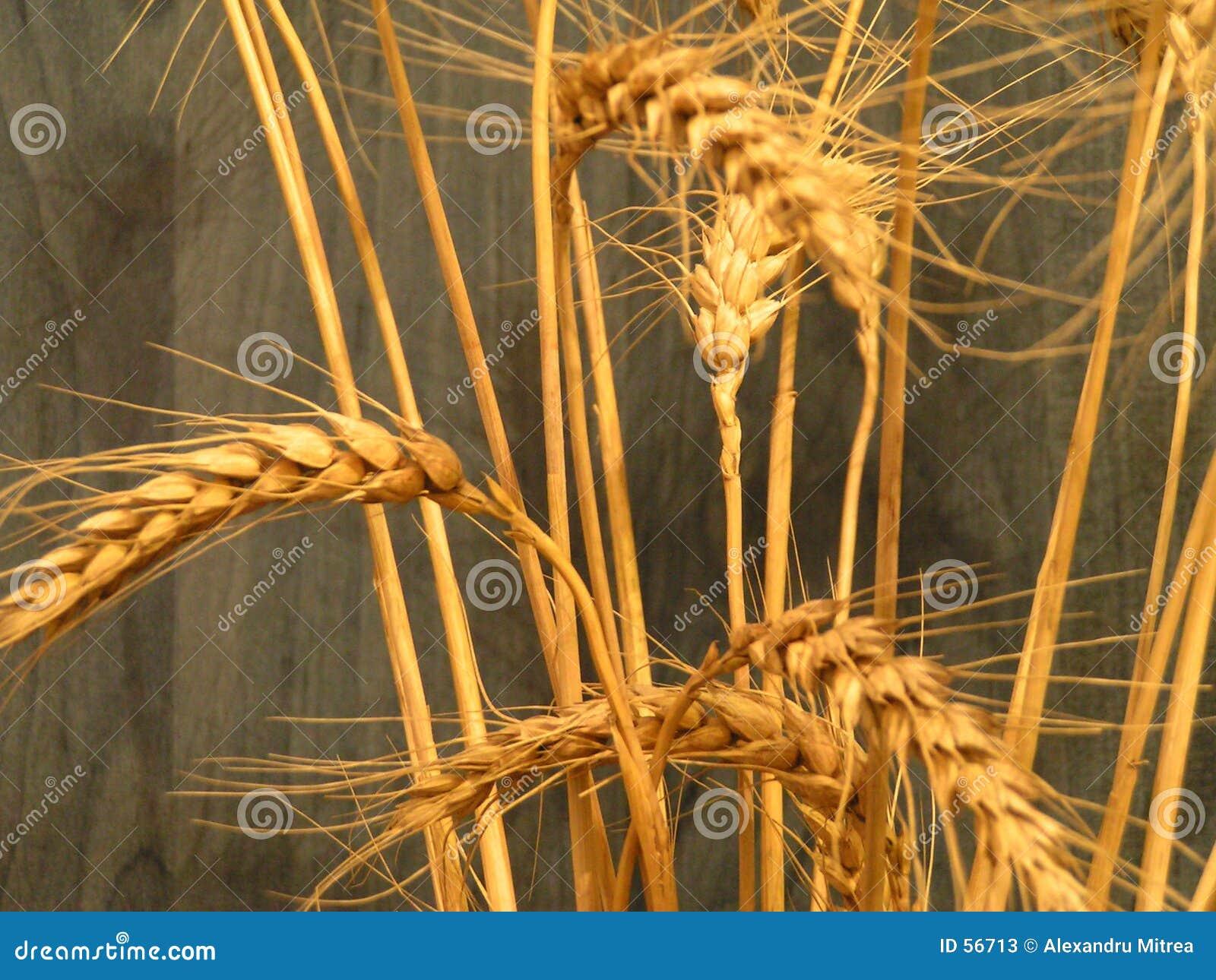 Buqet del trigo