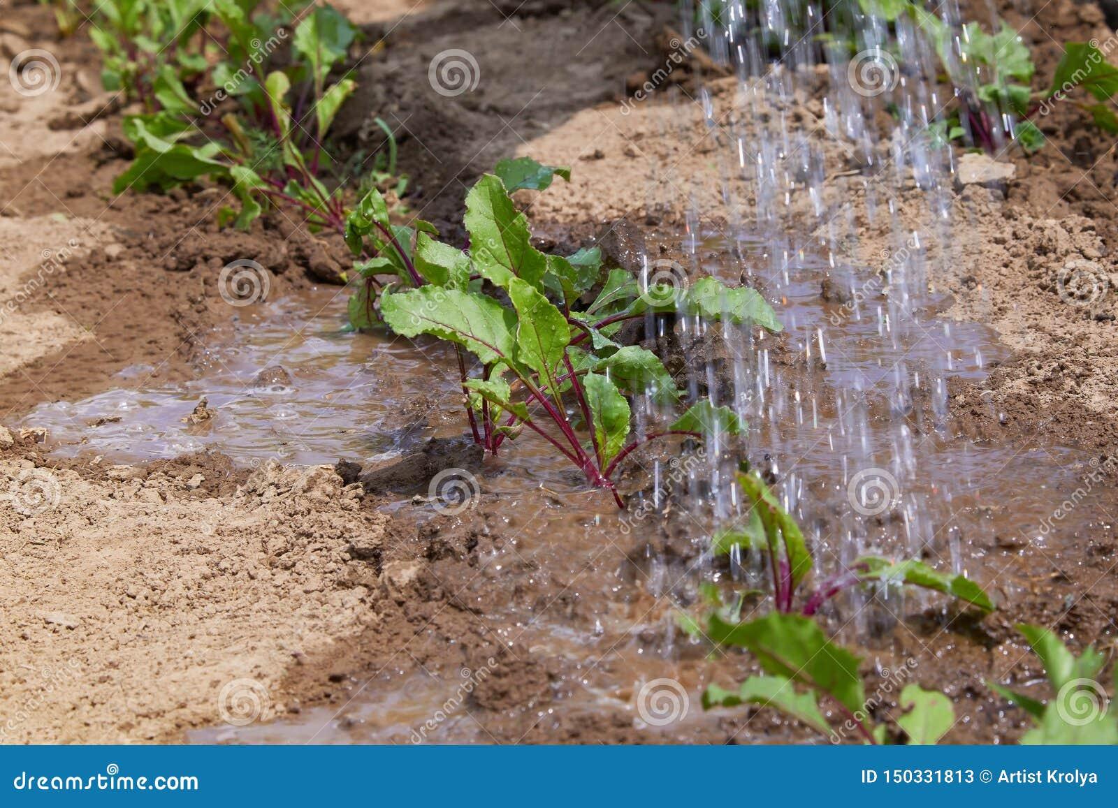 Burak kiełkuje w polu i rolnik nawadnia one; rozsady w rolnika ogródzie, rolnictwo