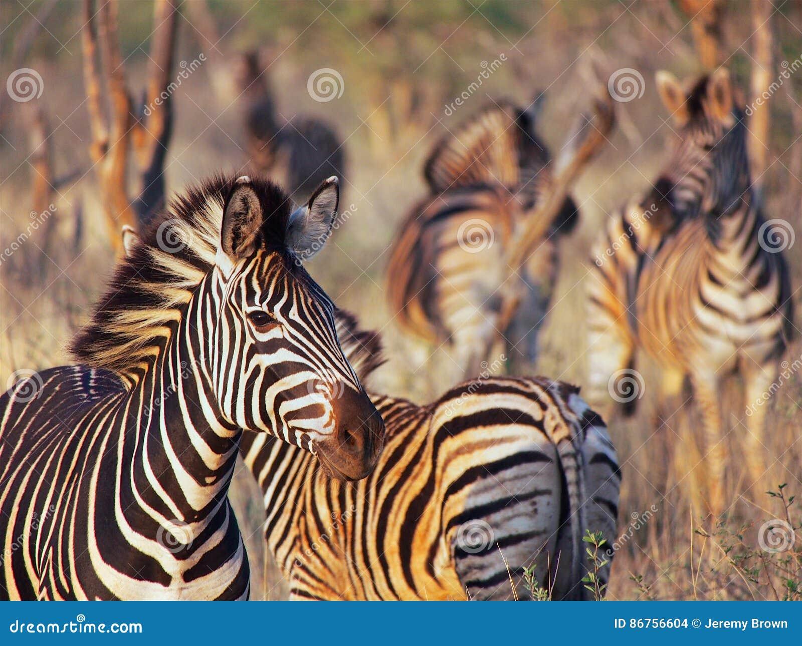 Burchell-` s Zebra