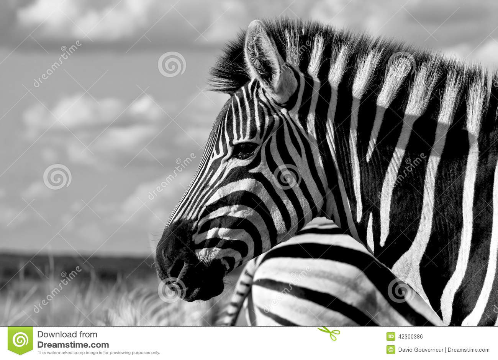 Burchell zebra (Equus kwaga burchellii)