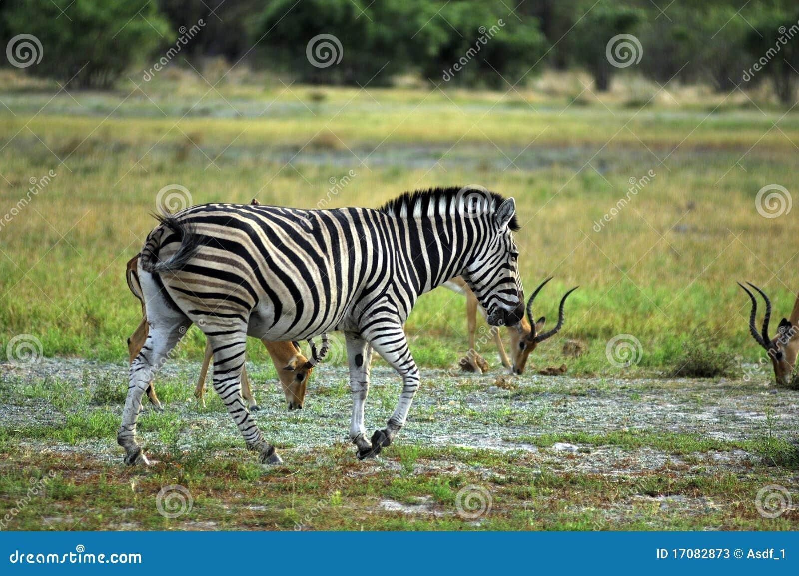Burchell zebra s