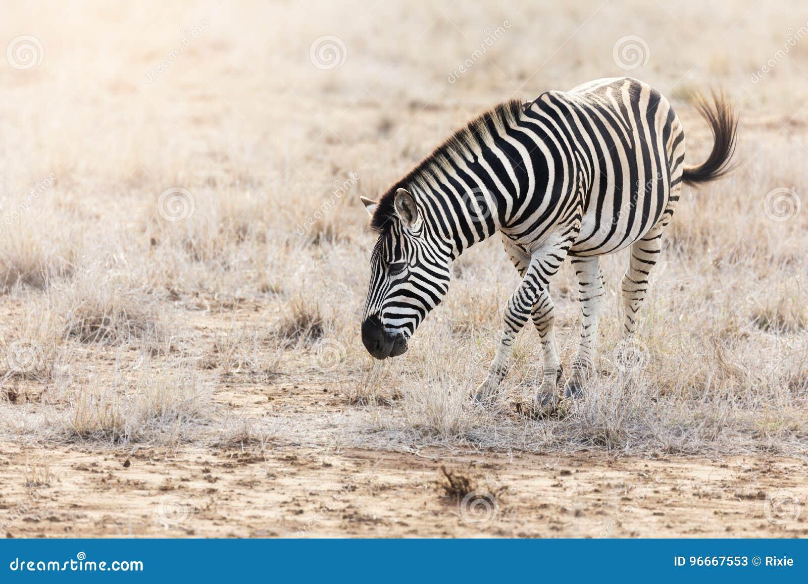 Burchell zebry pasanie w Kruger parku narodowym