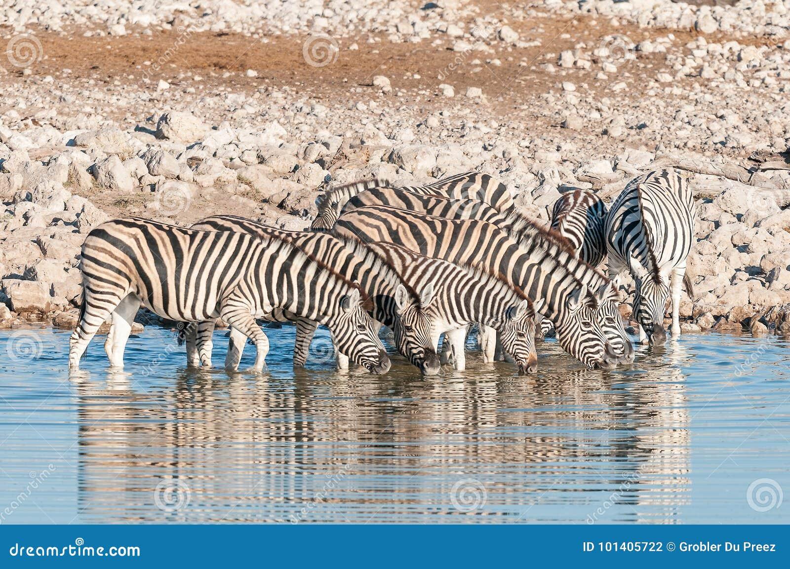 Burchells Zebras Equus quagga burchellii drinking water