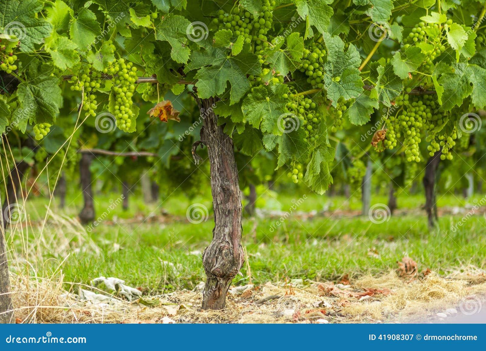 Burdeos Francia del viñedo de las vides de uvas