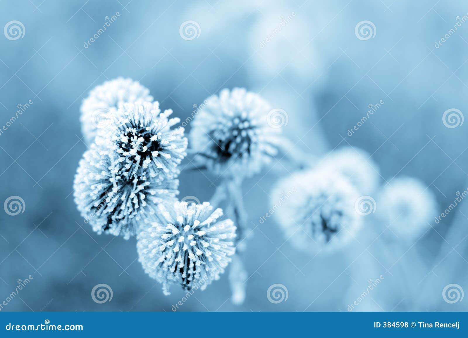 Burdock bleu II de l hiver