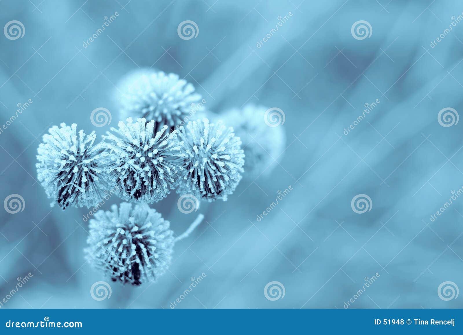 Download Burdock blu di inverno fotografia stock. Immagine di natale - 51948