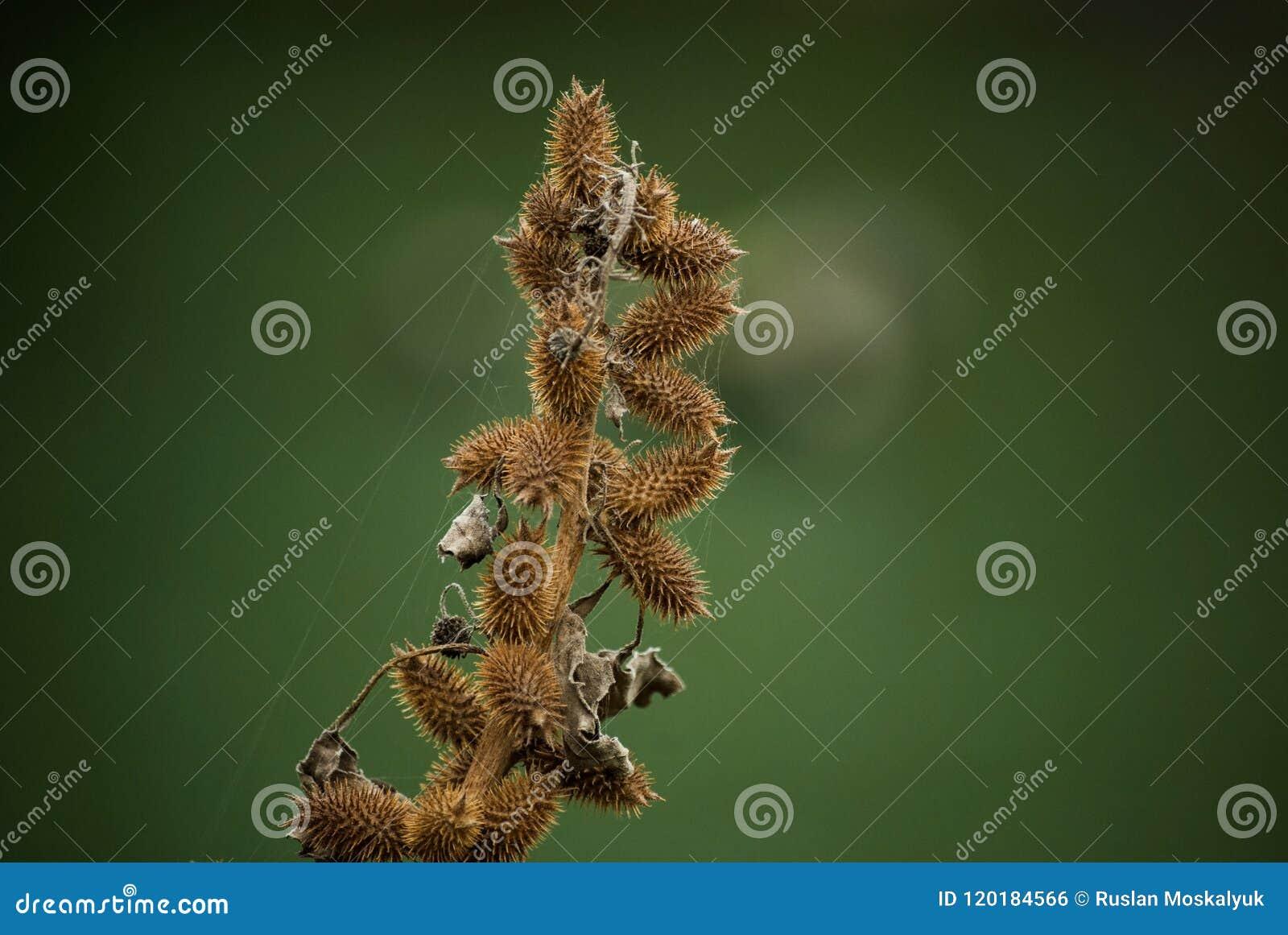 Burdock, A Large Herbaceous, Agrimony, Bur, Burr, Thorn