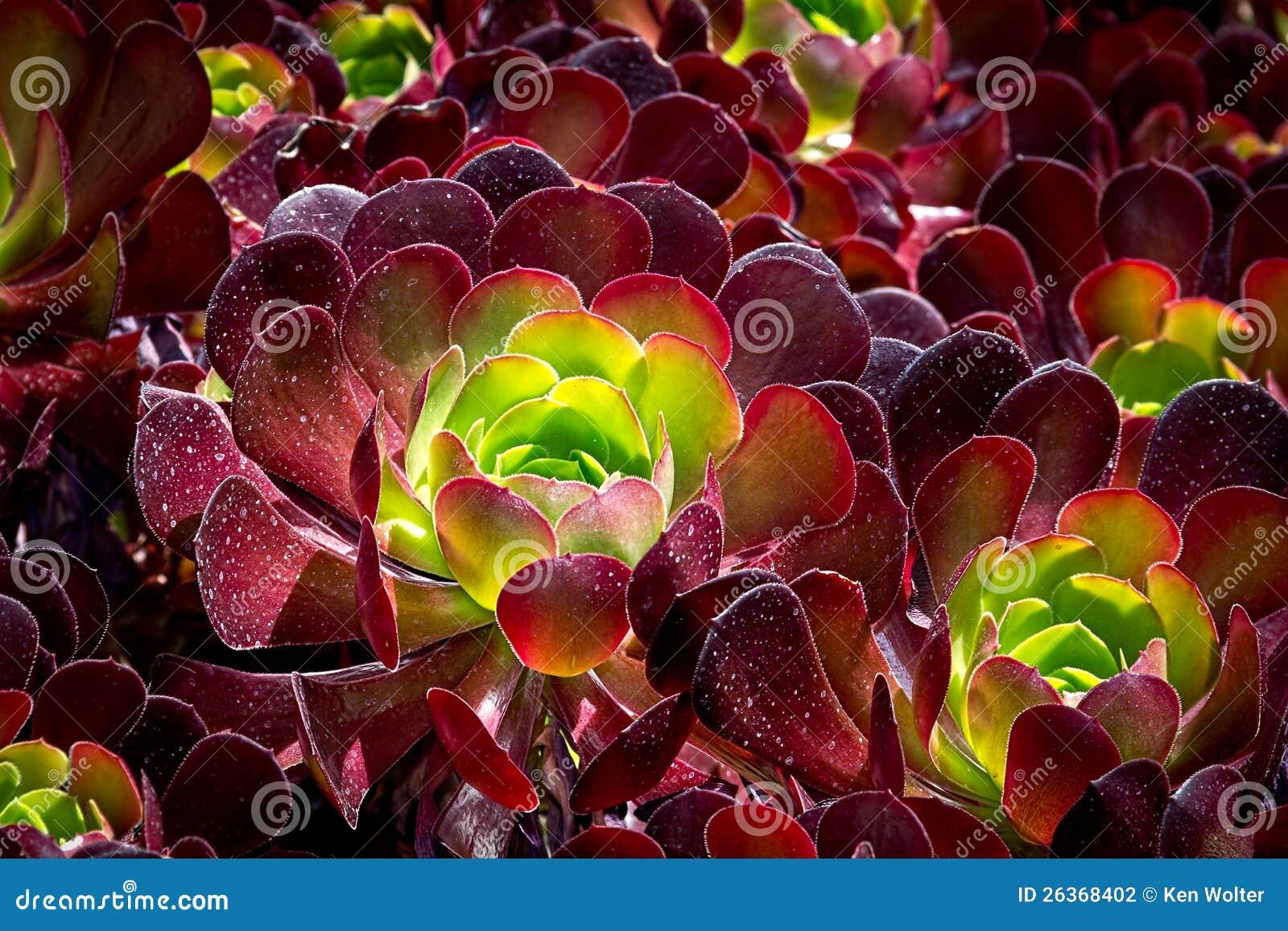 Burgandy a coloré le Succulent