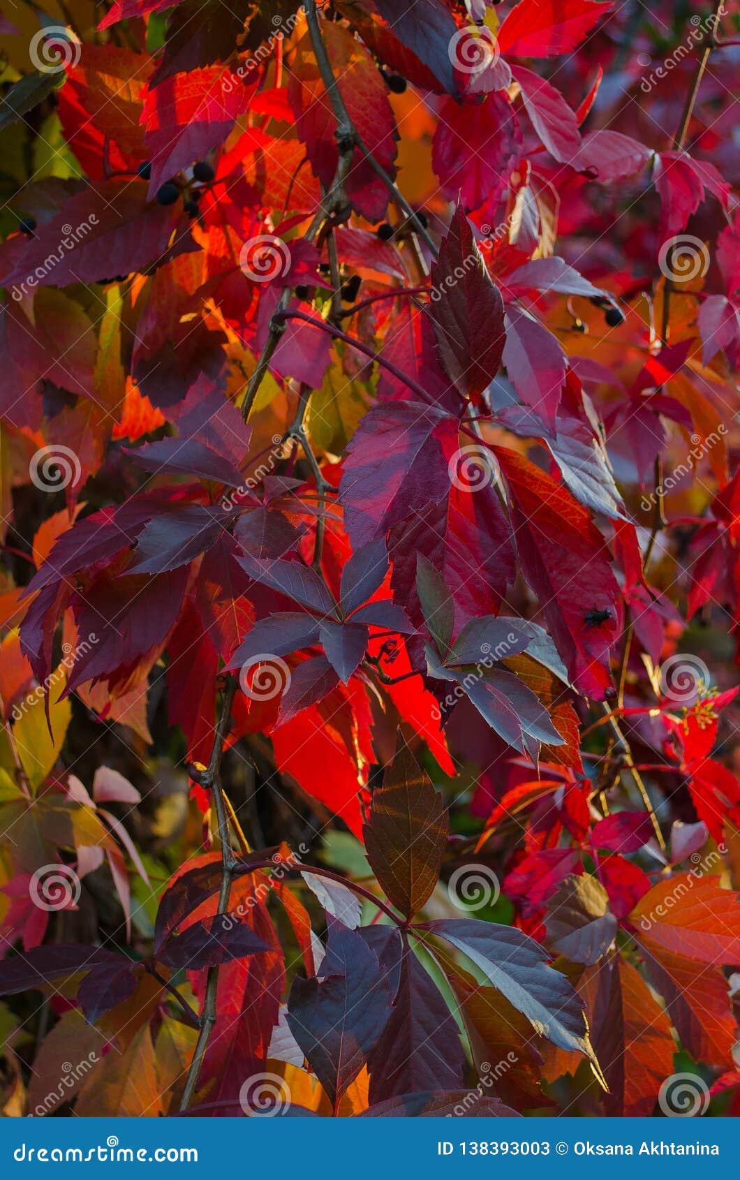 Burgundy φύλλα των παρθένων σταφυλιών