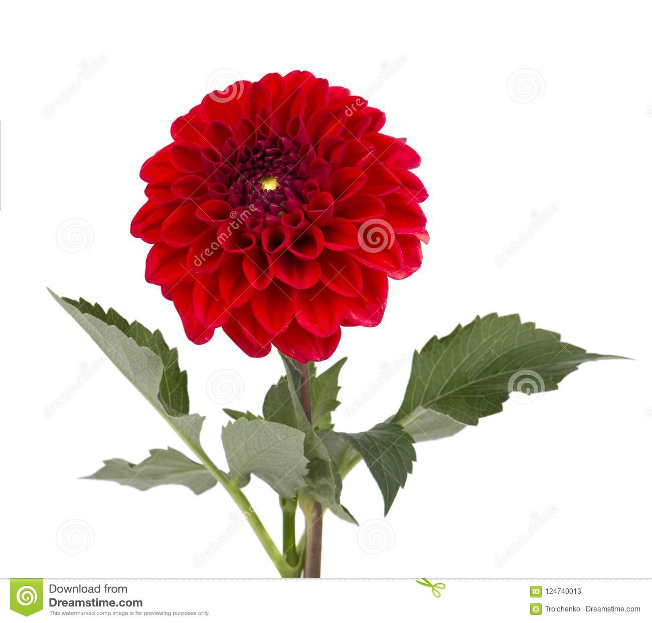 Burgundy dahlia flower with leaves isolated on white background download burgundy dahlia flower with leaves isolated on white background stock image image of leaf izmirmasajfo