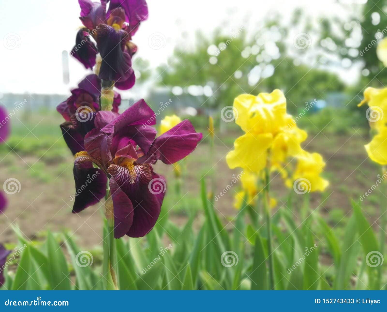Burgundy i żółci irysy w kwiatu łóżku